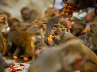 梦见好多猴子是什么意思?梦见猴子打架是什么情况? 动物,梦见很多猴子,梦见猴子在表演