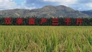 平均亩产926.5公斤!袁隆平团队杂交水稻再创佳绩