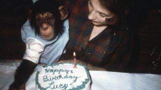 帮助猩猩回归野外 英国女子与猩猩同吃住六年 晚上都睡在笼子里